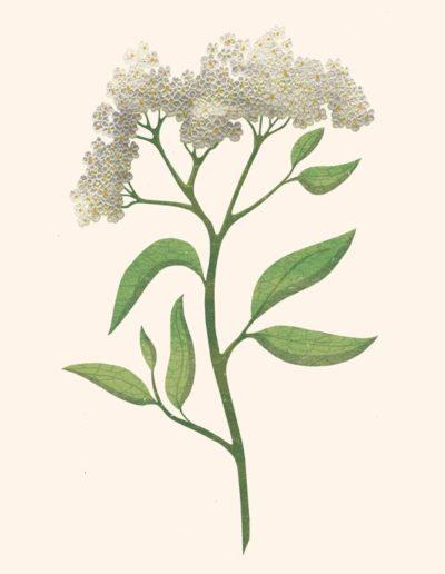 4-botanical-Elderflower-800h