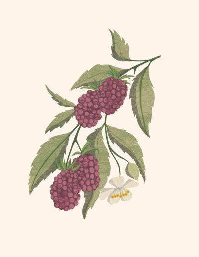 4-botanical-blackberry-800h
